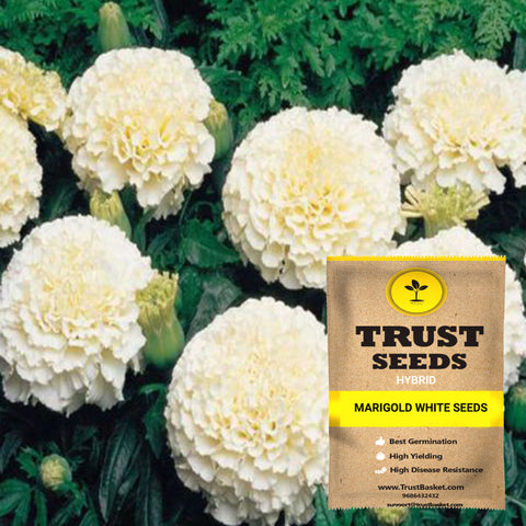 Buy Best Marigold Plant Seeds Online - Marigold white seeds (Hybrid)