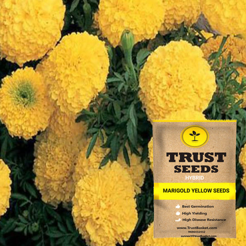 Buy Best Marigold Plant Seeds Online - Marigold yellow seeds (Hybrid)