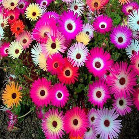 Mesembryanthemum/Ice plant seeds (OP)