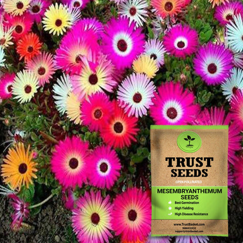 Buy Best Mesembryanthemum Plant Seeds Online - Mesembryanthemum/Ice plant seeds (OP)