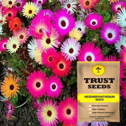 Buy Best Mesembryanthemum Plant Seeds Online - Mesembryanthemum seeds (Hybrid)