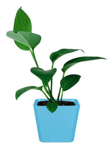 Money Plant with Square Plastic Planter (Superior Quality, Tissue Cultured Plant)