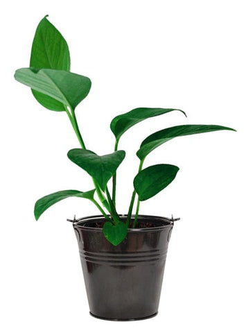 Money Plant with Bucket Planter (Superior Quality, Tissue Cultured Plant)