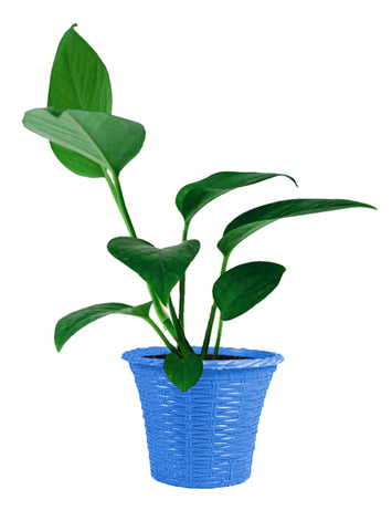 Money Plant with Round Plastic Planter (Superior Quality, Tissue Cultured Plant)