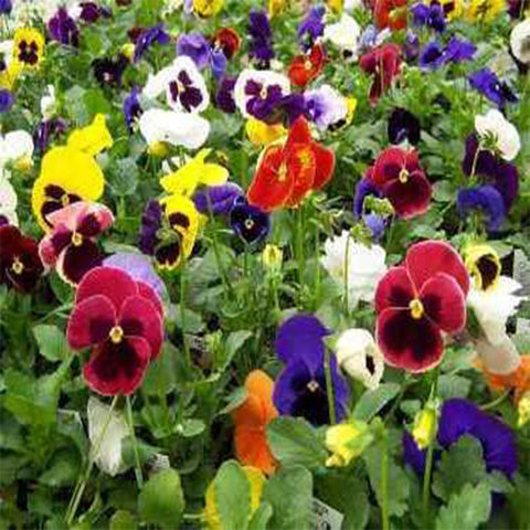 Pansy mixed seeds (Open Pollinated)