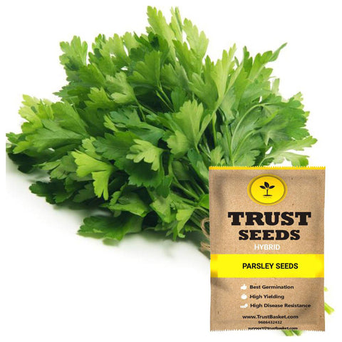 Buy Best Parsley Plant Seeds Online - Parsley Seeds (Hybrid)
