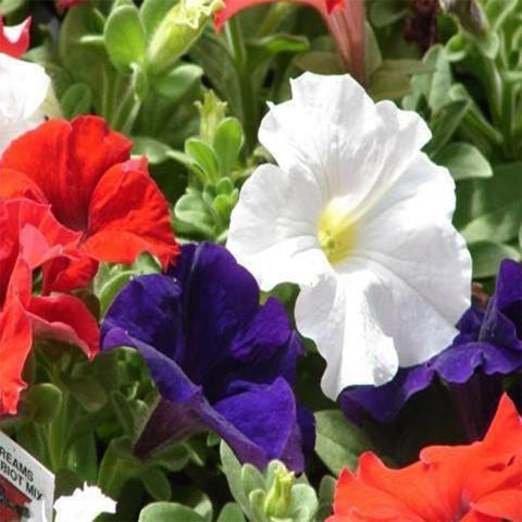 Petunia mixed seeds (OP)