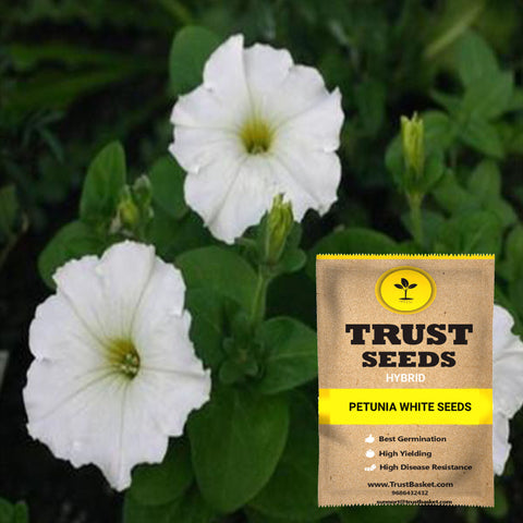 Buy Best Petunia Plant Seeds Online - Petunia white seeds (Hybrid)