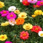Portulaca mixed seeds (OP)