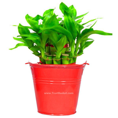 Lucky Bamboo  With Red Bucket