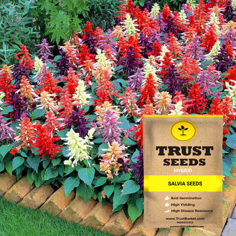 Buy Best Salvia Plant Seeds Online - Salvia mixed seeds (Hybrid)