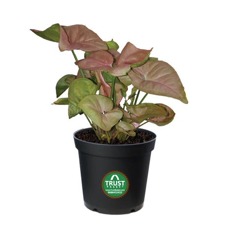 Indoor Syngonium Pink Plant in 4 inch Pot