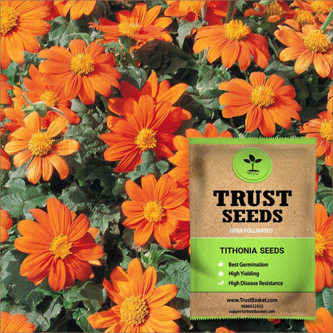 All Flower seeds - Tithonia Seeds (OP)