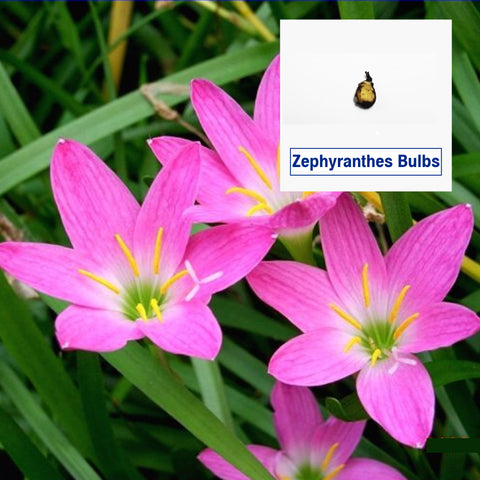 Zephyranthes Flower Bulbs (Set of 5)