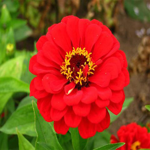 Zinia red seeds (OP)