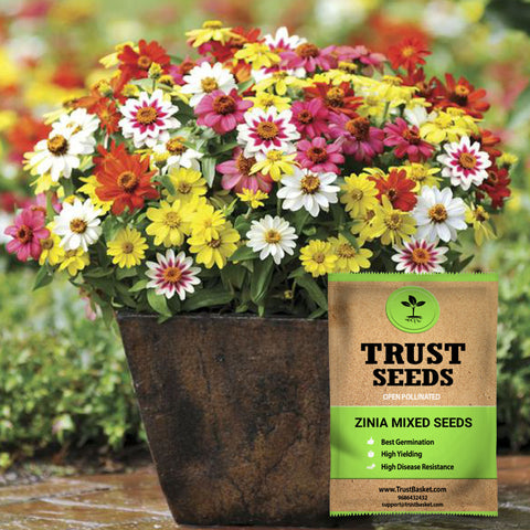 Colorful Designer made planters - Zinia mixed seeds (OP)