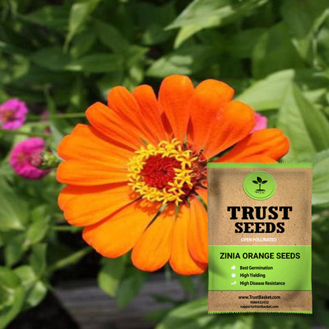 Buy Best Zinia Plant Seeds Online - Zinia orange seeds (OP)