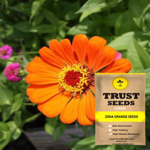 Zinia orange seeds (Hybrid)