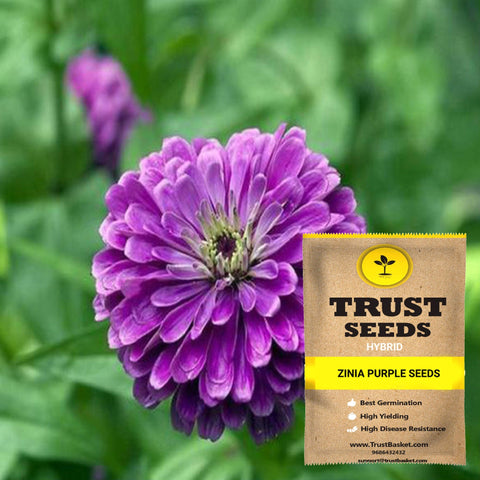 Buy Best Zinia Plant Seeds Online - Zinia purple seeds (Hybrid)