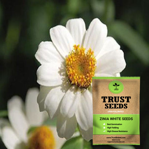 Buy Best Zinia Plant Seeds Online - Zinia white seeds (OP)