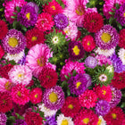 Aster mixed seeds  (Open Pollinated)
