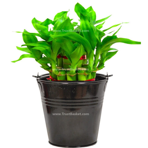 Lucky Bamboo  With Black Bucket - Trust Basket