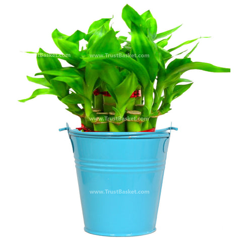 Lucky Bamboo  With Blue Bucket - Trust Basket
