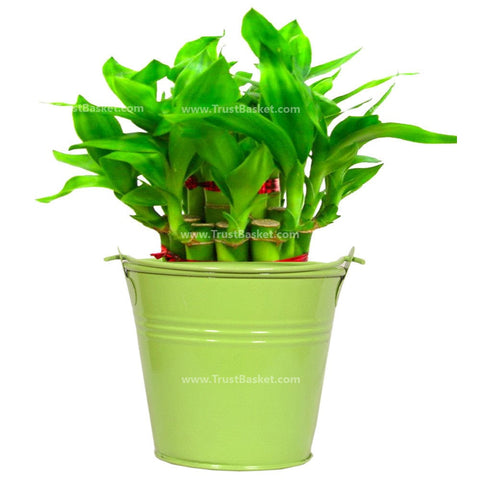 Lucky Bamboo With Green Bucket - Trust Basket