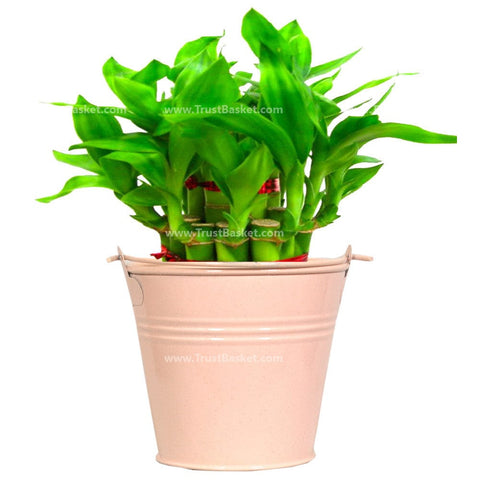 Lucky Bamboo  with Light Pink Bucket - Trust Basket