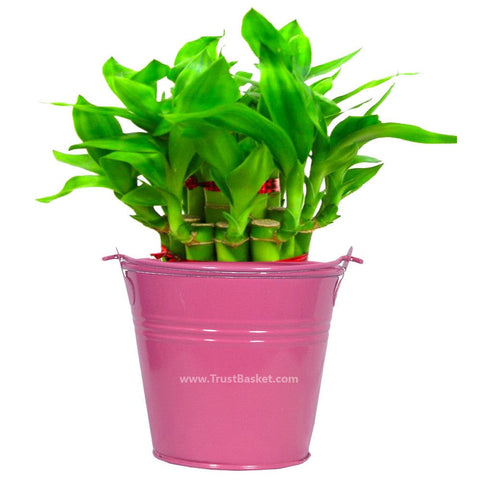 Lucky Plants for Offices & Business - Lucky Bamboo  With Magenta Bucket