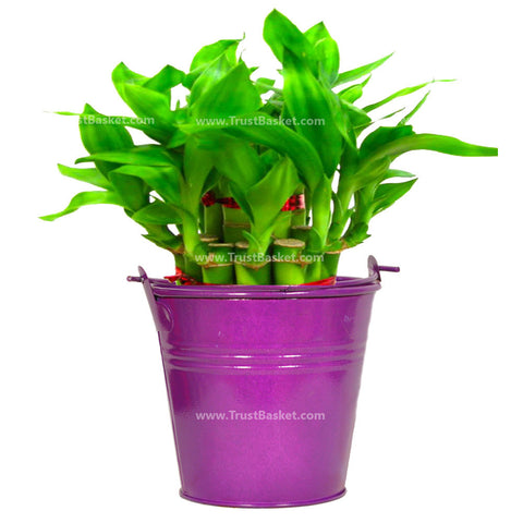 Lucky Bamboo  with Light Purple Bucket - Trust Basket