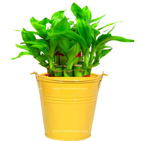 Lucky Bamboo  with Light Yellow Bucket - Trust Basket