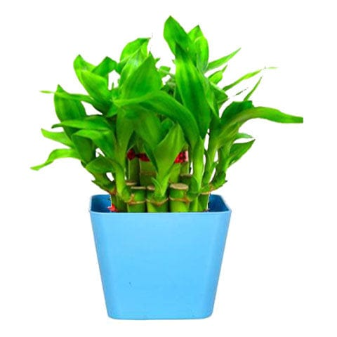 Lucky Bamboo  With Square Blue Planter