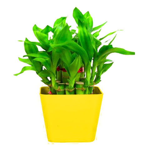 Lucky Bamboo Plant For Home/Office With Square Yellow Planter