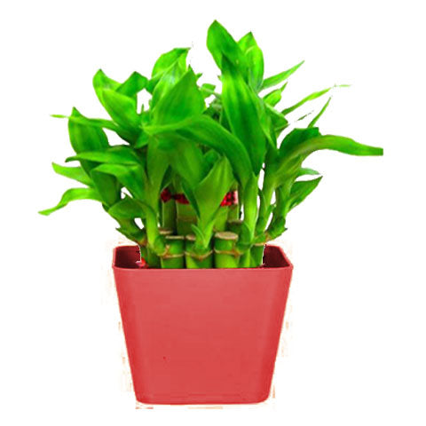 Lucky Plants for Offices & Business - Lucky Bamboo  With Squre Red Planter