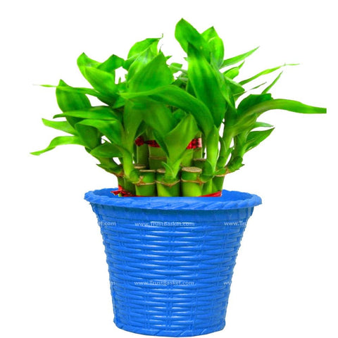 Lucky Bamboo  With Blue Planter - Trust Basket