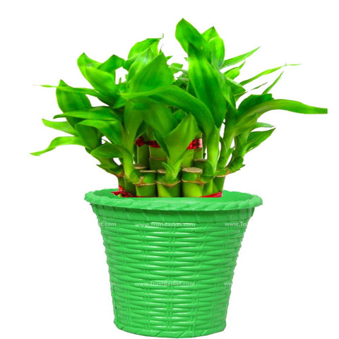 Lucky Bamboo  With Green Planter - Trust Basket