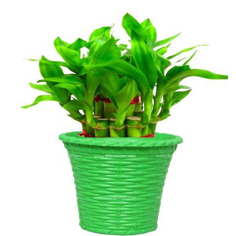 Lucky Plants for Offices & Business - Lucky Bamboo  With Green Planter