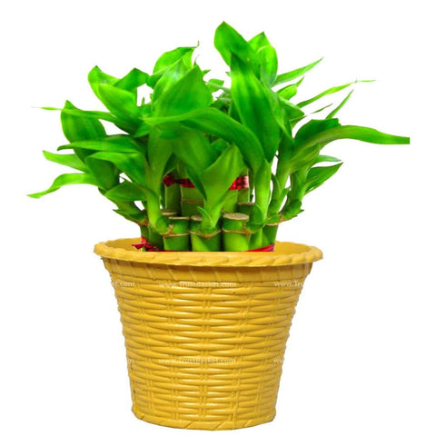 Lucky Bamboo  With Yellow Planter - Trust Basket