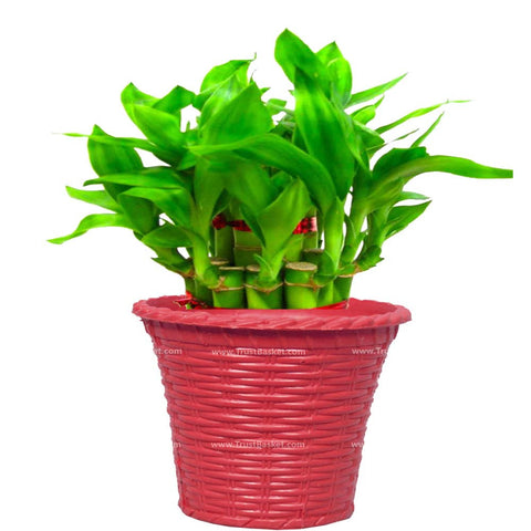 Lucky Plants for Offices & Business - Lucky Bamboo  With Red Planter