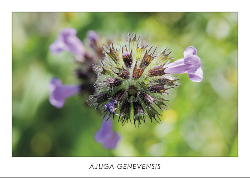 AJUGA GENEVENSIS - Upright bugle