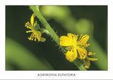 AGRIMONIA EUPATORIA - Common agrimony. Collection Botanic.