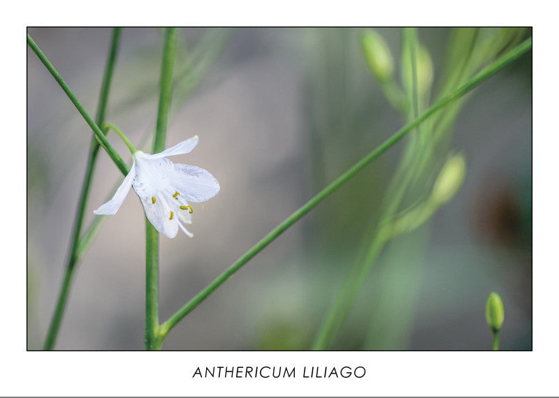 ANTHERICUM LILIAGO - St. Bernard's lily. Collection Botanic.