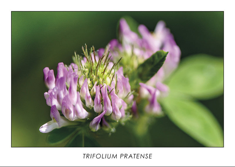 TRIFOLIUM PRATENSE - Red Clover. Collection Botanic.