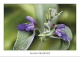 SALVIA PRATENSIS - Sage flower. Collection Botanic