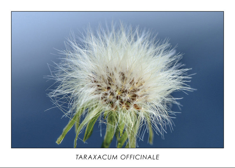 TARAXACUM OFFICINALE - Dandelion. Collection Botanic.