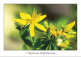 HYPERICUM PERFORATUM - Perforate St. John's-wort. Collection Botanic.