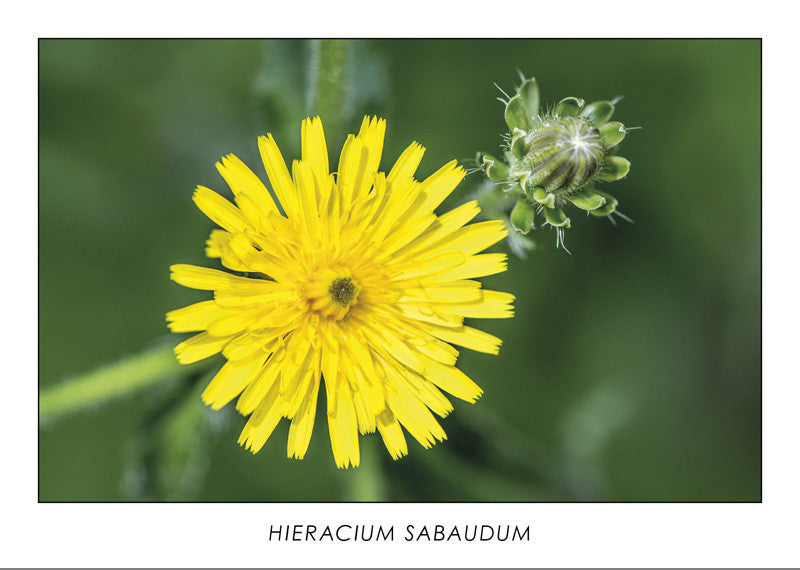 HIERACIUM SABAUDUM - Savoy hawkweed. Collection Botanic