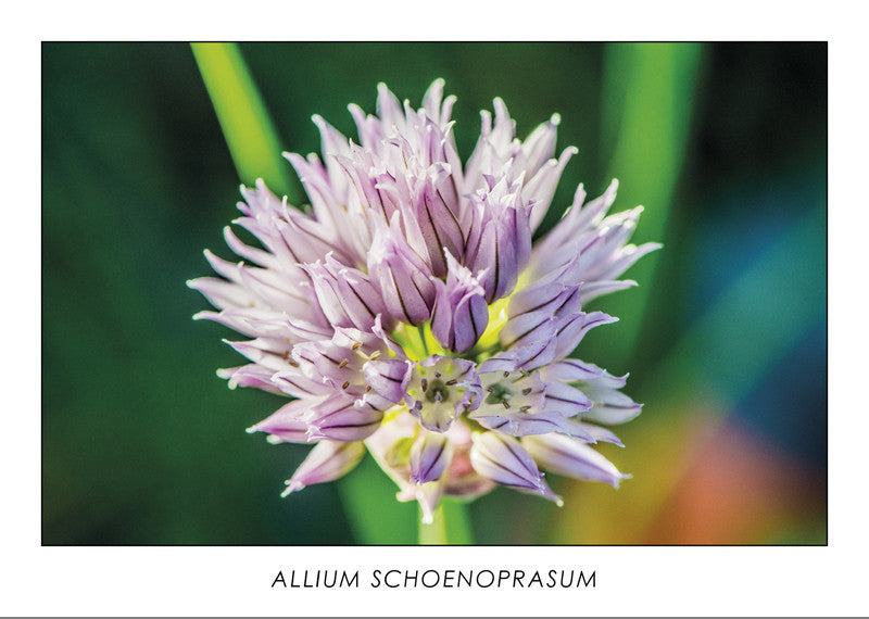14025 - ALLIUM SCHOENOPRASUM - Chives flower