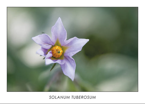SOLANUM TUBEROSUM - Potato flower